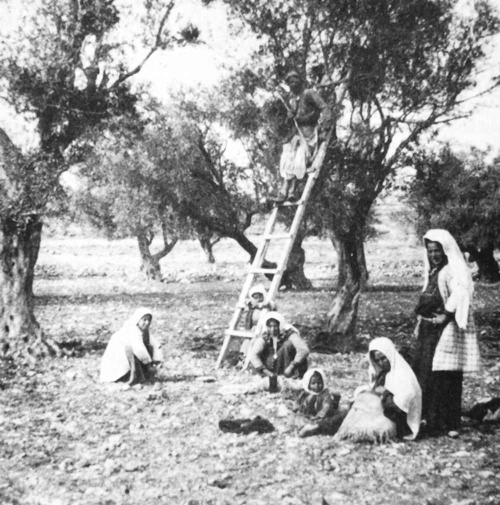 Local inhabitants harvesting olives in the Nablus area, late 19th century. (C.E. Raven, Palestine in picture, Heffer, Cambridge 1929).
